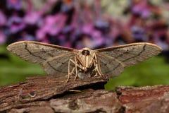 Lepidottero ondeggiato del riband Fotografia Stock Libera da Diritti