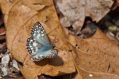 Lepidottero peloso di verde blu nel Panama. Fotografie Stock Libere da Diritti