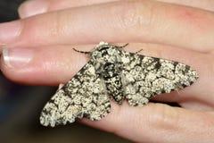 Lepidottero peperone fotografia stock