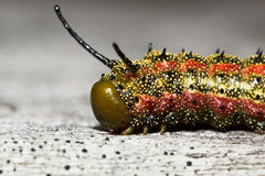 Lepidottero Rosa-a strisce di Oakworm Immagine Stock