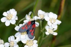 lepidottero Stretto-delimitato del burnet del cinque-punto Immagine Stock Libera da Diritti