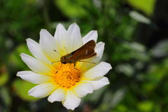 Lepidottero sul fiore Immagine Stock Libera da Diritti