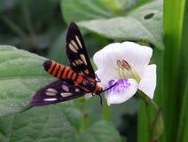 Lepidottero sul fiore bianco Fotografia Stock Libera da Diritti