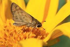 Lepidottero sul girasole Immagini Stock