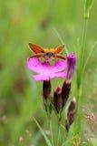 Lepidottero sull'chiodi di garofano Fotografie Stock Libere da Diritti