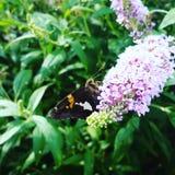 Lepidottero sulla farfalla Bush Fotografia Stock