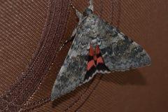 Lepidottero sulla tenda Fotografia Stock Libera da Diritti