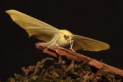 Lepidottero Swallowtailed. Fotografia Stock Libera da Diritti