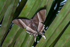 Lepidottero tropicale di coda di rondine Fotografia Stock