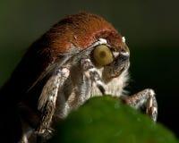 lepidottero underwing Vasto-confinato di giallo, fimbriata del Noctua fotografie stock libere da diritti