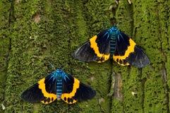 Lepidottero variopinto Fotografia Stock Libera da Diritti