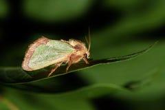 Lepidottero verde della lumaca che riposa su una foglia fotografia stock libera da diritti