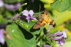Lepidottero in volo Immagini Stock Libere da Diritti