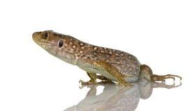 lepidus jaszczurki ocellated timon obrazy stock