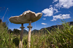 Lepiota Macrolepiota procera, parasol mushroom in the grass. Wide angle, Vosges, france Royalty Free Stock Photo