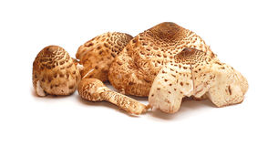 Lepiota procera, parasol mushroom. Edible Royalty Free Stock Photo