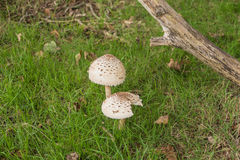 Lepiota procera. Two Parasol mushrooms in the grass next to some old decaying tree branches Stock Photo