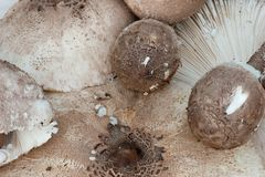 Lepiota rhacodes of different sizes Stock Photography
