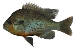 Lepomis Auritus. Fish on white background file Stock Image
