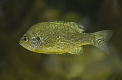 Lepomis gibbosus or pumpkinseed sunfish Stock Image