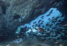 Lepomis macrochirus del truco o de la invitación de los buceadores - caverna de Blue Springs Fotografía de archivo