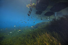 Lepomis macrochirus, Sunfish y plantas de Hydrilla - primaveras de Morrison Fotos de archivo libres de regalías