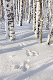 Leporine footprints in the winter forest Royalty Free Stock Photo