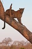 leppard结构树 库存照片