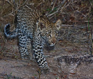 Leppard cub Royalty Free Stock Image