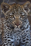 Leppard cub Royalty Free Stock Photography
