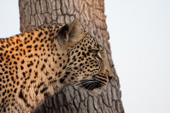 Leppard in tree Royalty Free Stock Photography