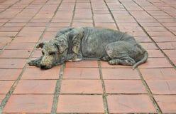 Lepra de la piel del perro Fotos de archivo libres de regalías