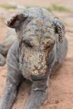 Lepra de la piel del perro Foto de archivo libre de regalías