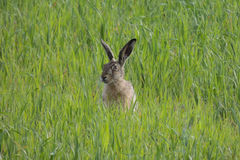 Lepre di Brown nella seduta del campo verde Fotografie Stock