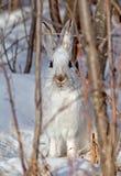 Lepre di racchetta da neve Immagini Stock