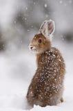 Lepre di racchetta da neve Immagine Stock Libera da Diritti