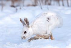 Lepre di racchetta da neve Immagine Stock