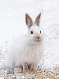Lepre di racchetta da neve Fotografia Stock Libera da Diritti