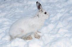 Lepre di racchetta da neve nell'inverno Fotografia Stock
