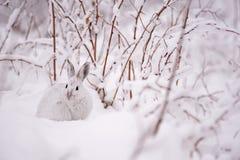 Lepre di racchetta da neve nella neve Immagini Stock