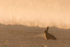 Lepre selvaggia nella lampadina di mattina sul campo con nebbia Immagini Stock Libere da Diritti