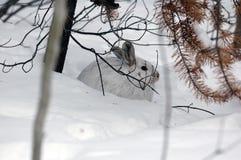 Lepri di Snowshoe Immagini Stock