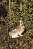 Lepri di Snowshoe, coniglio, coniglietto Immagini Stock Libere da Diritti