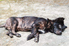 Leprosy dog Stock Photos