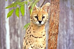 Leptailurus Serval Wild Cat. Focusing royalty free stock photography