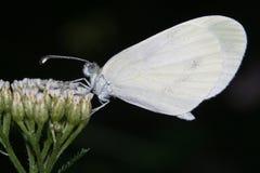 leptidea芥子 库存图片