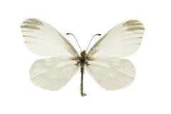 Leptidea morsei. The Fenton's wood white, Leptidea morsei, isolated on a white background royalty free stock photo