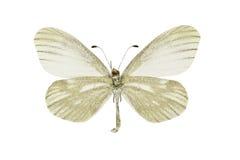 Leptidea morsei. The Fenton's wood white, Leptidea morsei, isolated on a white background stock images