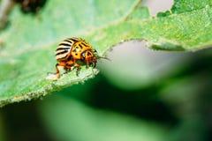 Leptinotarsa жука Колорадо Striped картошкой Стоковые Фото