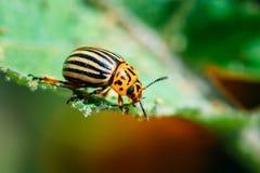 Leptinotarsa жука Колорадо Striped картошкой Стоковые Изображения